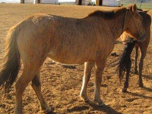 cheval bringé et tigré